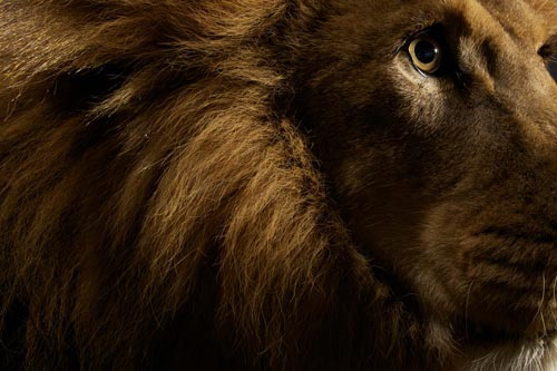 Big Cats Photography by Vincent J Musi