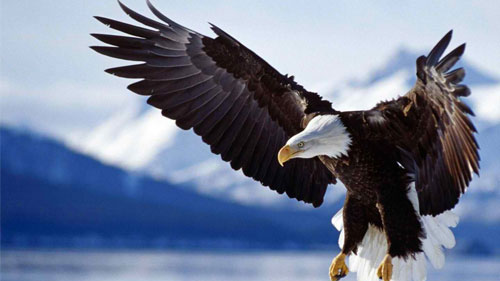 Eagle Desktop Wallpapers Backgrounds