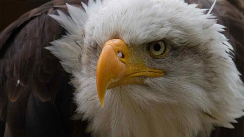 Eagle Desktop Wallpapers Backgrounds